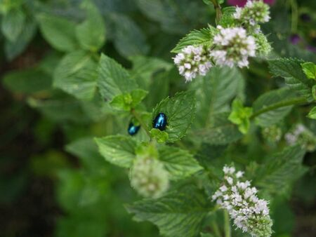 Alder leaf beetle on peppermint Stock Photo