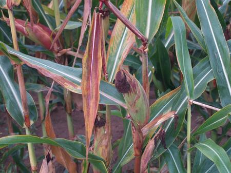 収穫直前の熟したトウモロコシ畑 写真素材 - 85099913