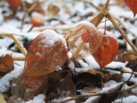 several andean berries with snowdrift 版權商用圖片