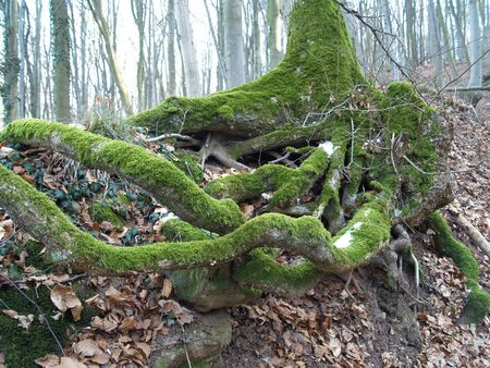 a mossy Root struggle for survival