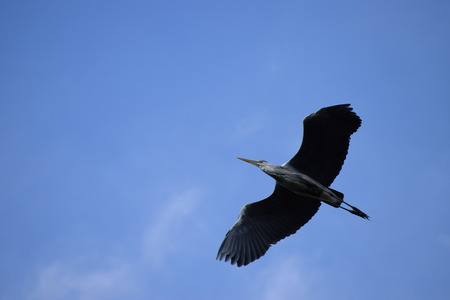 Gray Heron in the Air