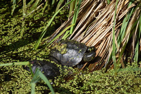 Terrapin in the Pond Stock Photo