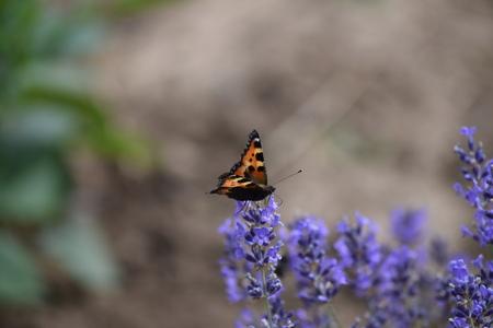 Little fox butterfly on blossom
