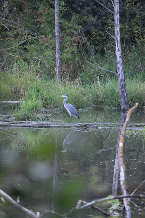 Gray heron in shallow water