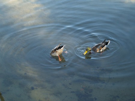 submerging Ducks in the Water