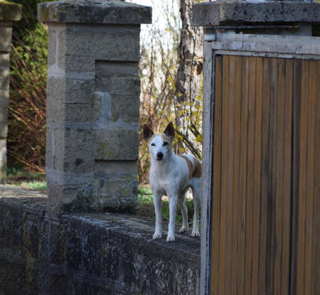 Jack Russel Terrier on a Property line