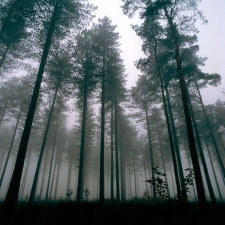 distort: Forest at Thetford, UK, Wintertime