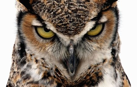 fascinate: Eagle Owl staring at the camera in a threatening manner. Isolated on white