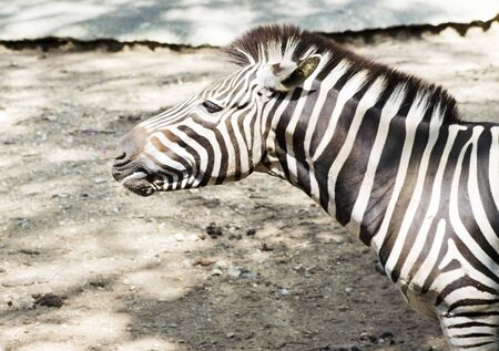 burchell: Zebra in Kruger National Park, Chiang mai