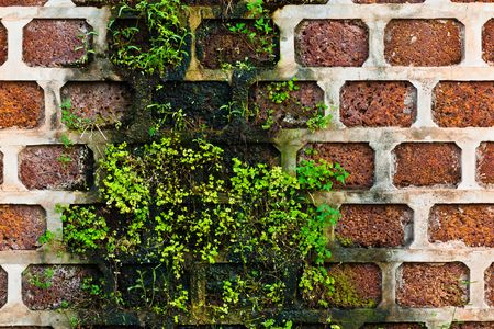 grew: old brick wall that plant grew on it