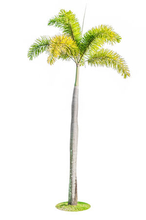 Foxtail palm tree isolated on white  photo