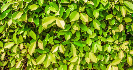 Close up green leaves wall background. photo