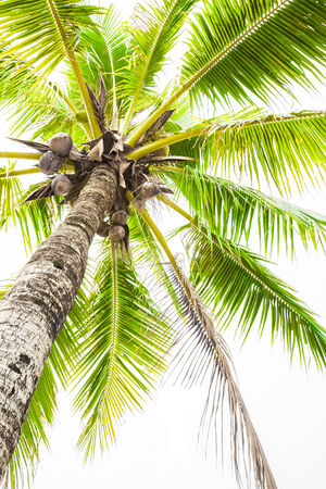 Coconut tree on white background. photo
