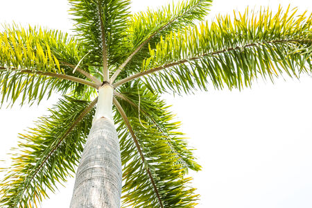 Foxtail palm tree  on white background. photo