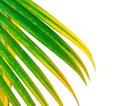 droop: Leaves of palm tree isolated on white background.