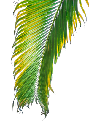 cycadaceae: Branch of palm tree isolated on white background.