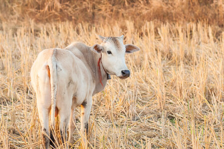 dry cow: white cow and dry grass cattle on the farm in rural ,thailand.