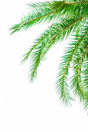 palmtree: Leaves of palm tree isolated on white background.