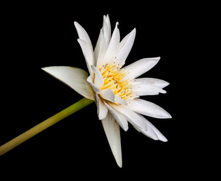 White lotus with yellow pollen isolated on a black background. photo