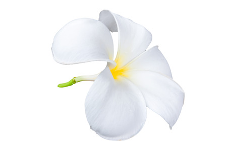 Frangipani plumeria Spa Flower isolated on white background. photo