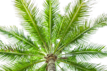 frond: Under coconut tree on the white background. Stock Photo