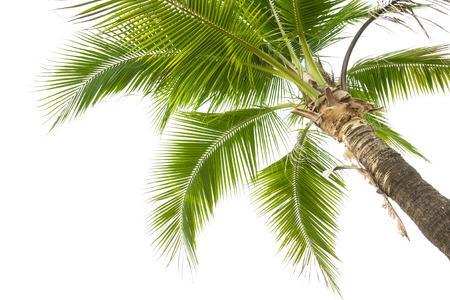hojas de arbol: Bajo el árbol de coco en el fondo blanco.