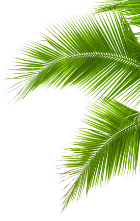 Leaves of palm tree isolated on white background. photo