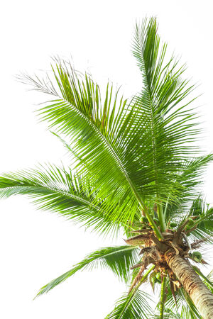 cycadaceae: Under coconut tree on the white background. Stock Photo