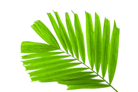 coconut leaf: Leaves of palm tree isolated on white background.