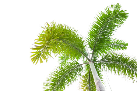 cycadaceae: Under palm tree on the white background.