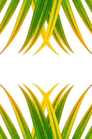 cycadaceae: Leaves of palm tree isolated, design for background. Stock Photo