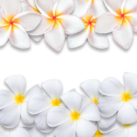 pink plumeria: Frangipani flower isolated on white backgound, design for background