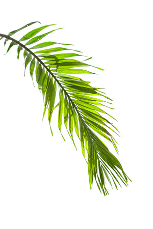 frond: Leaves of palm tree isolated on white background.