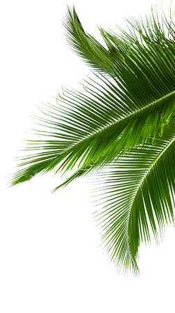 Leaves of coconut tree isolated on white background photo