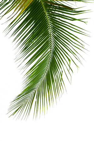 palmtree: Leaves of coconut tree isolated on white background
