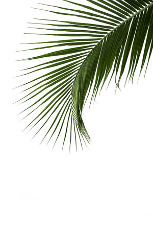 coconut leaf: Leaves of coconut tree isolated on white background