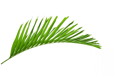 frond: green palm leaves isolated on white background, Stock Photo