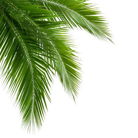 クリッピング パスが含まれている白い背景上に分離されてココナッツ ツリーの葉