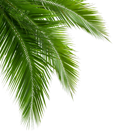 Leaves of coconut tree isolated on white background, clipping path included photo