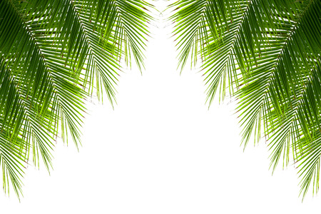 palmtrees: Leaves of coconut tree isolated on white background, clipping path included