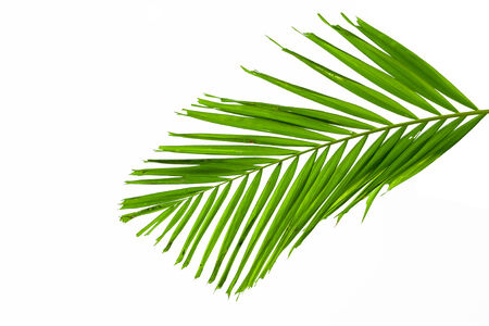 palmtree: green palm leaves isolated on white background, clipping path included.