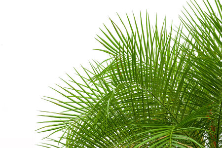 clipping  path: green palm leaves isolated on white background, clipping path included.