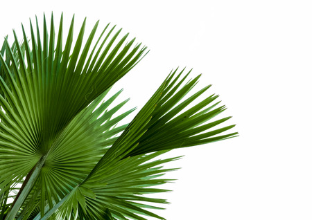 rainforest background: green palm leaf isolated on white background, clipping path included.