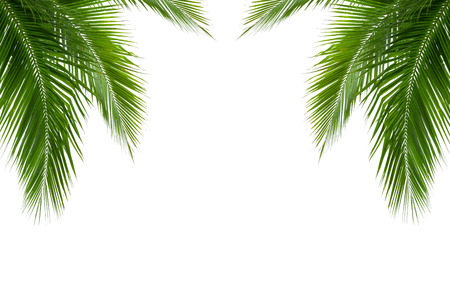 foliage frond: leaves of coconut tree isolated on white background, clipping path included