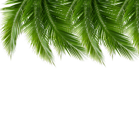 clipping  path: group of coconut leaves isolated on white background, design for replace any beach background, clipping path included