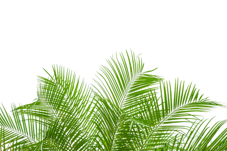 frond: palm tree isolated on white background, clipping path included