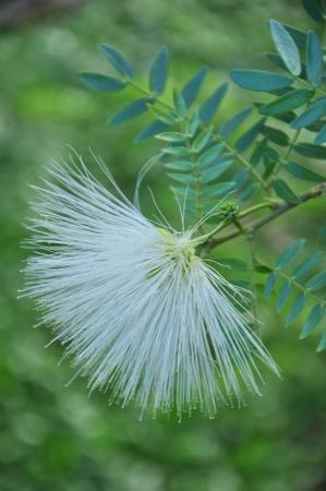 samanea saman: The White Samanea saman Flower Stock Photo