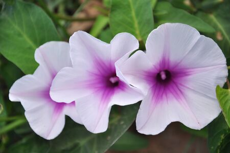 pes caprae: The  Ipomoea pes-caprae are blooming on the field in the morning