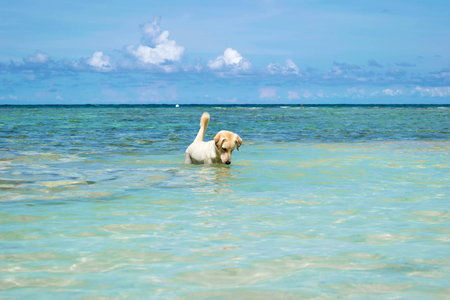 The Labrador Retriever dog in blue sea with clear blue sky at Koh Chang island in Thailand