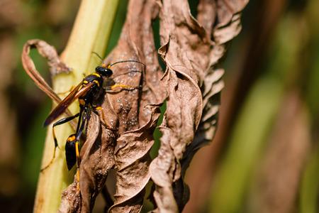 Close-Up Of Mud Dauber Wasp Or Sceliphron Caementarium On Dried Leaf Stock Photo